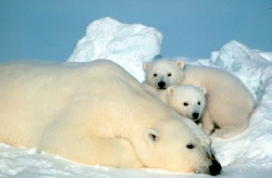 Polar bear pictures.jpg