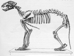 Panthera leo speleata skeletondrawing.jpg