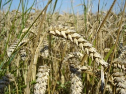 800px-Wheat close-up.jpg