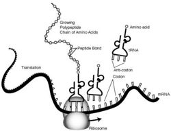amino acids rna diagram protein synthesis creationwiki  the encyclopedia of  protein synthesis creationwiki  the encyclopedia of