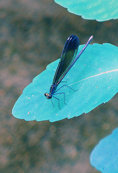 Ebony jewel wing color.jpg