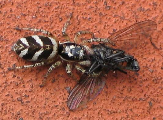 File:Salticus scenicus with a fly I.jpg