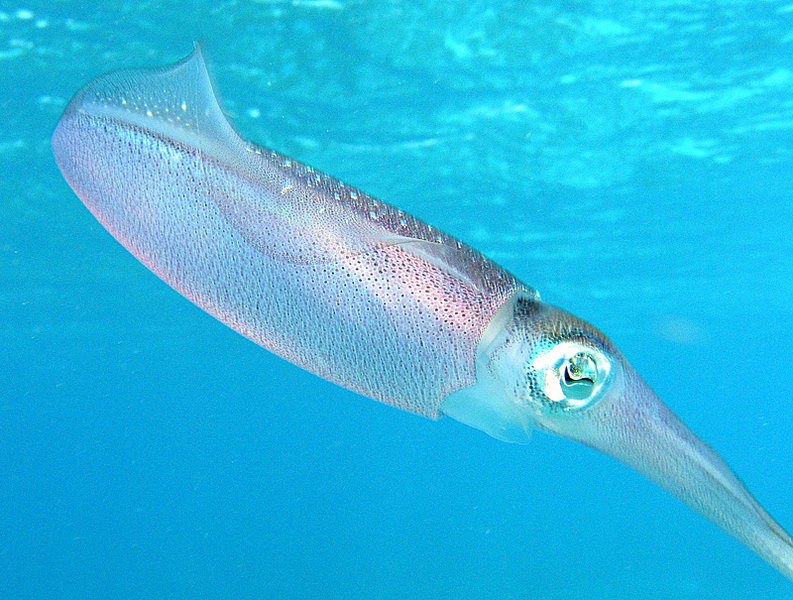 File:Caribbean reef squid.jpg