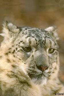 Snow-leopard fws.jpg