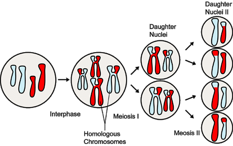 Sex cells produced by meiosis