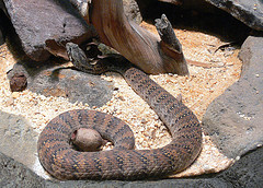 Death adder by a log.jpg