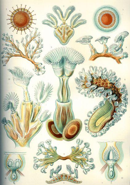 File:Haeckel Bryozoa.jpg