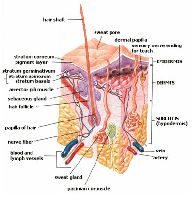 Integumentary system - CreationWiki, the encyclopedia of ...