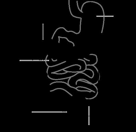 File:Intestine diagram.png