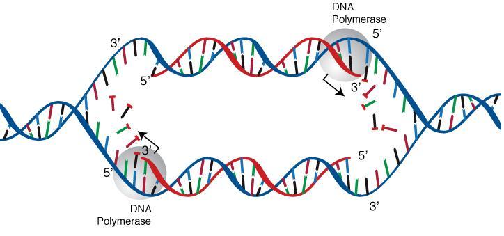 File:DNA replication.jpg