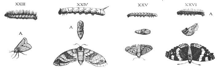 File:Geodart Metamorphosis 1663.png