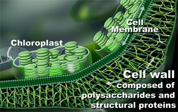 Cellwall jpgCellulose Cell Wall