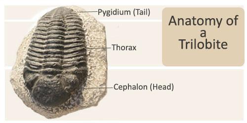 File:Trilobite1.jpg
