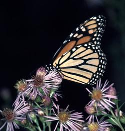 Monarch Butterfly 3.jpg