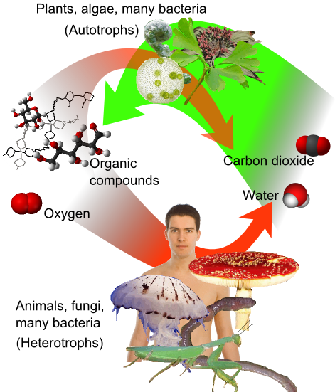 File:Auto-and heterotrophs.png