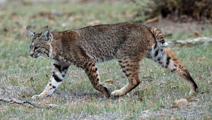 File:Bobcat.jpg