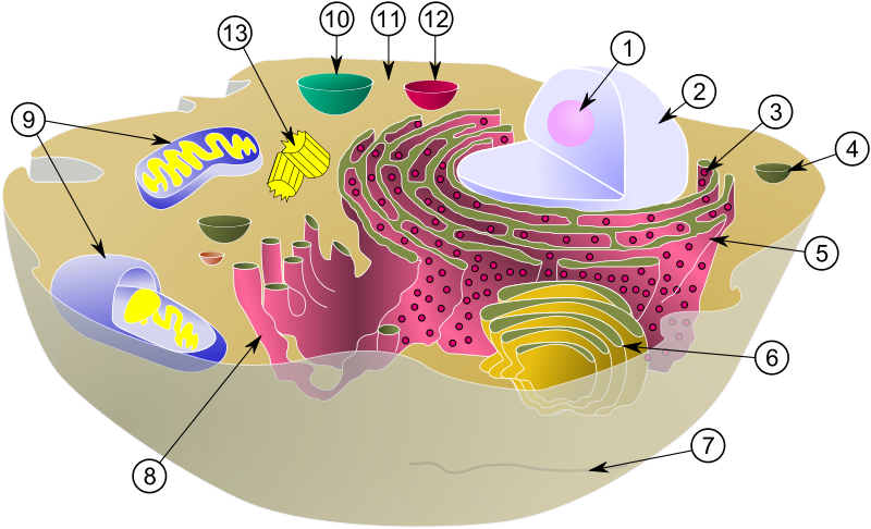 Animal Cell Organelles. of a typical animal cell.