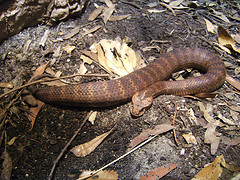 Death adder lying on a rock.jpg