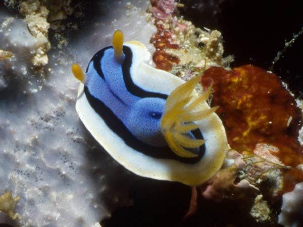 File:Nudibranchs 600.jpg