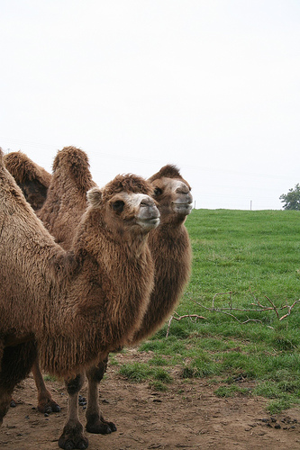 Bactrian camels in their field at Noah&#39;s Ark Zoo Farm