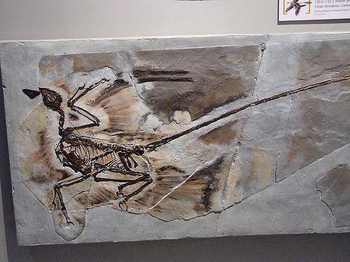 File:Microraptor gui.jpg