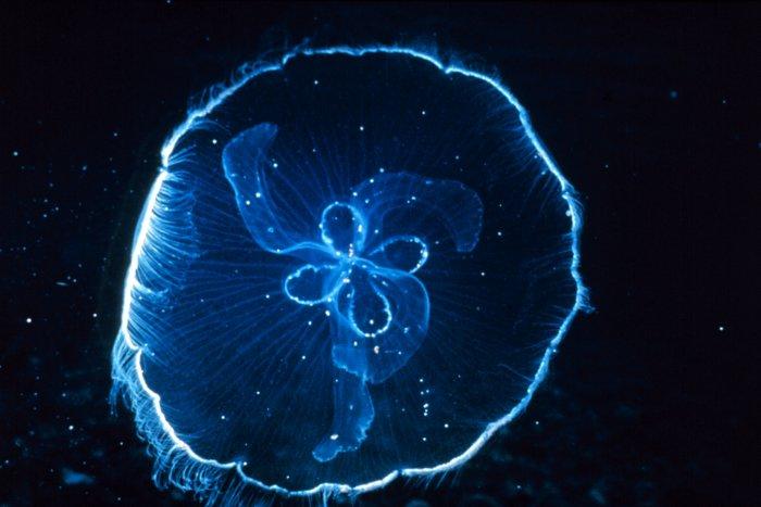 File:Moon Jellyfish.jpg