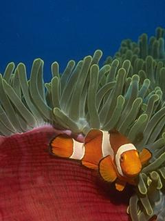 File:Clownfish anemone.jpg