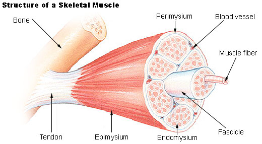 File:Illu muscle structure.jpg