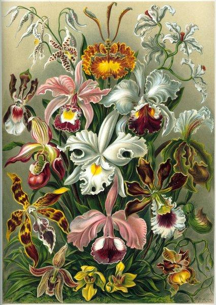 File:Orchidae Haeckel.jpg