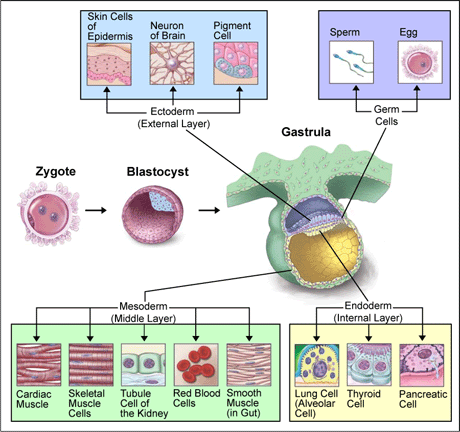 File:Differentiation of human tissues.PNG