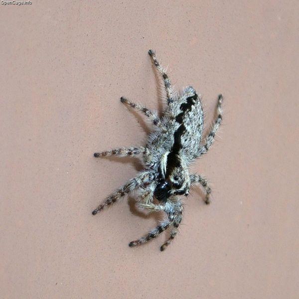 File:600px-Menemerus fulvus Female.jpg