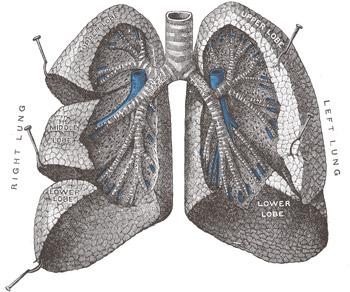 File:Human respiratory system 4.jpg