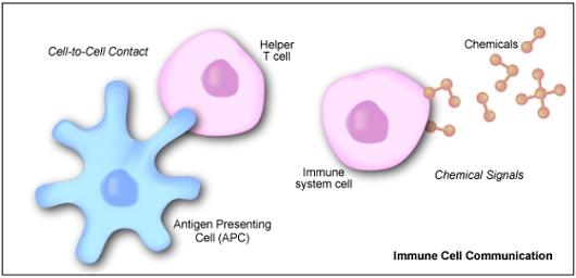 File:Helper T Cell.jpg