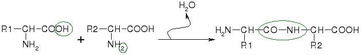 File:Peptide bond.jpg