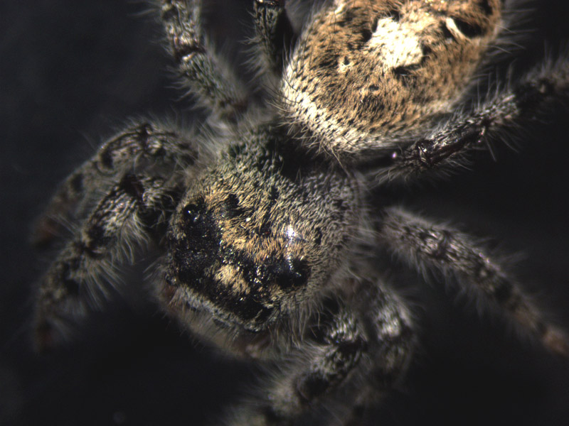 File:Jumping spider1.jpg