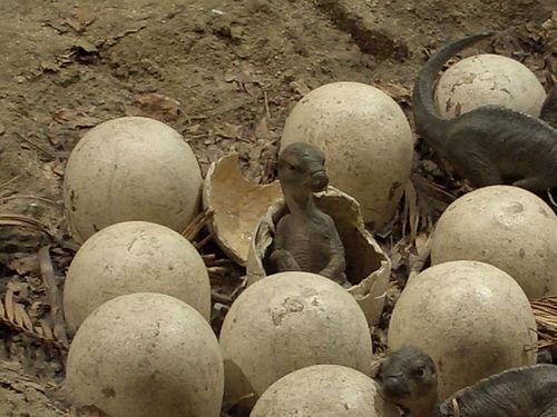 File:Dinosaur eggs.jpg