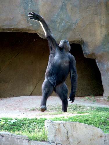 Gorilla standing up - photo#14