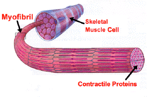 File:The Structure of Skeletal muscle.PNG
