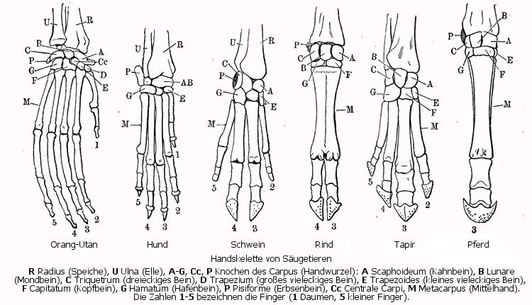 File:Forelimb homology.png