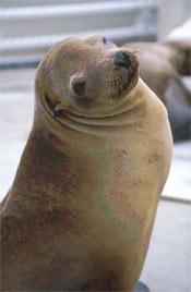 California Sea lion 3.jpg