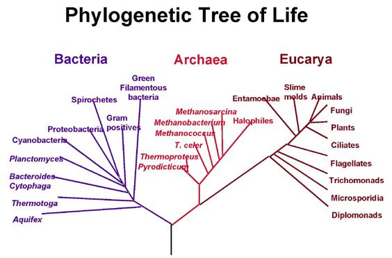 File:PhylogeneticTree.jpg