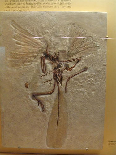 File:Archaeopteryx fossil.jpg