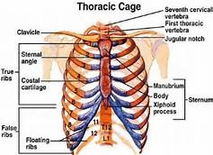 Thoracic cage diagram.jpeg