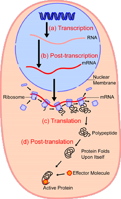 File:Protein production.png