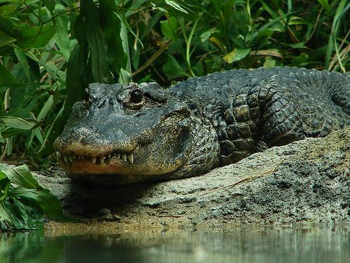 Something new xD Chinese_alligator3