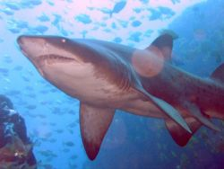 800px-Grey Nurse Shark at Fish Rock Cave.jpg