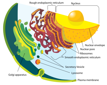 Endomembrane system.png