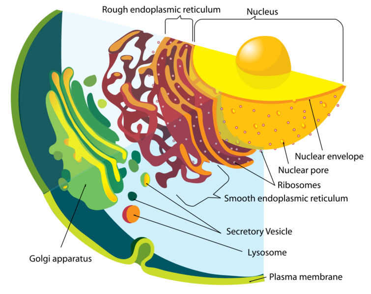 File:Endomembrane system.png
