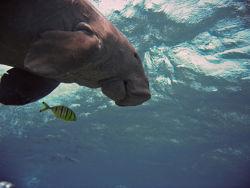 Dugong-fish.jpg