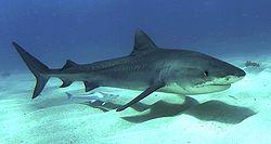 Tiger shark 1.jpg